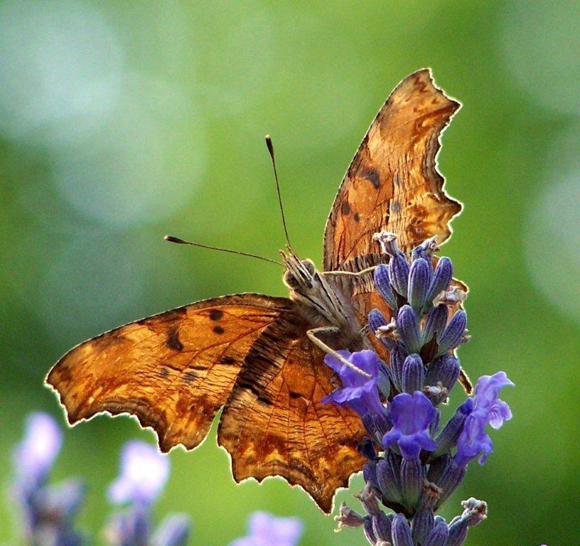 papillon 1050575 (55)