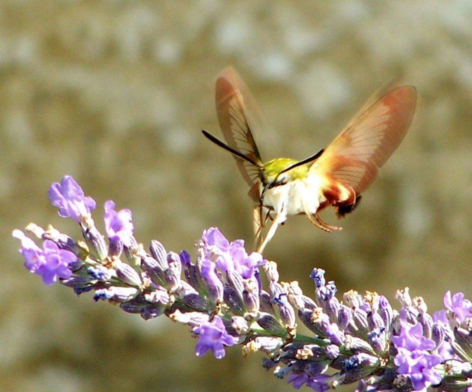 papillon 1050575 (56)