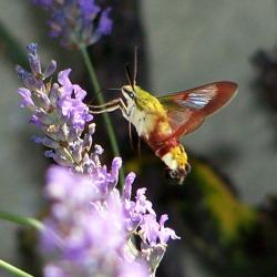 papillon 1050575 (57)