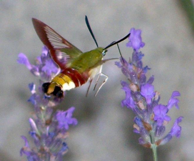 papillon 1050575 (58)