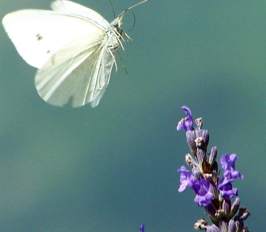 papillon 1050575 (59)