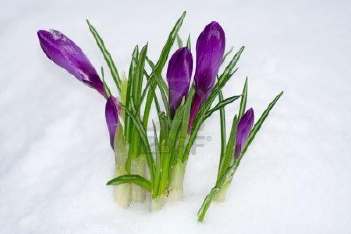 Fleur de printemps sous la neige