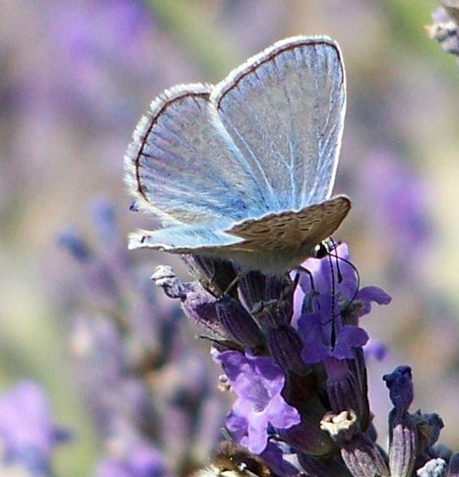 Papillon 1050575 45