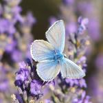 Papillon 1050575 53